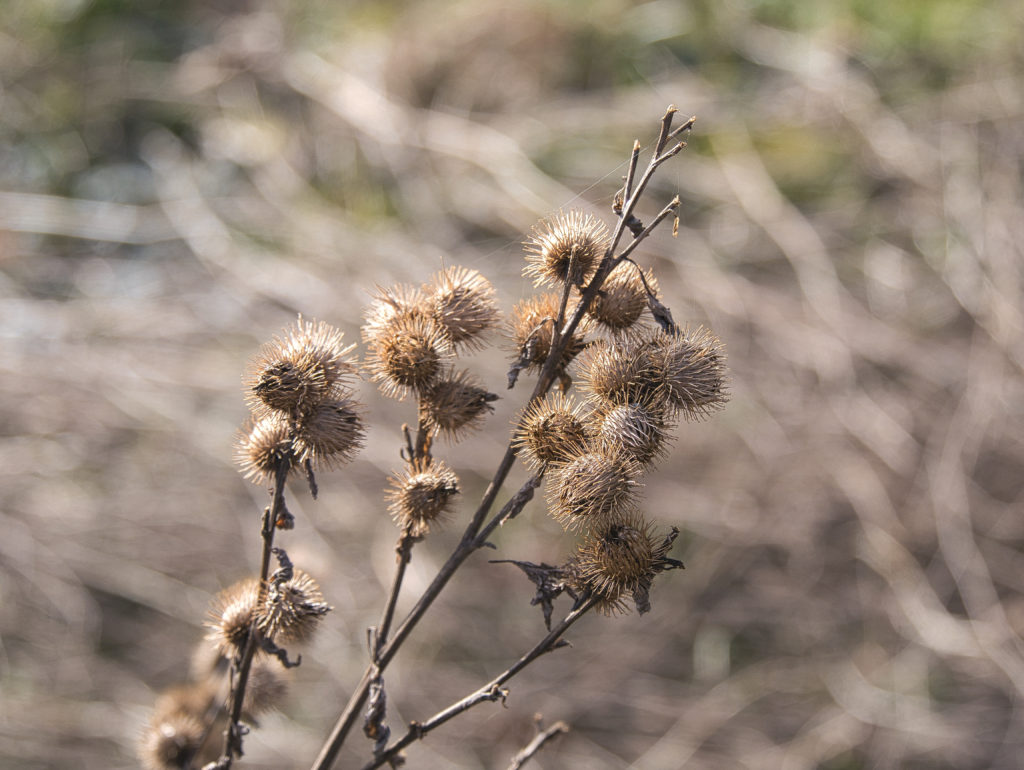 vertrocknete Blüte