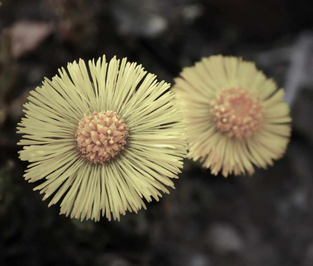 Blume dunkel